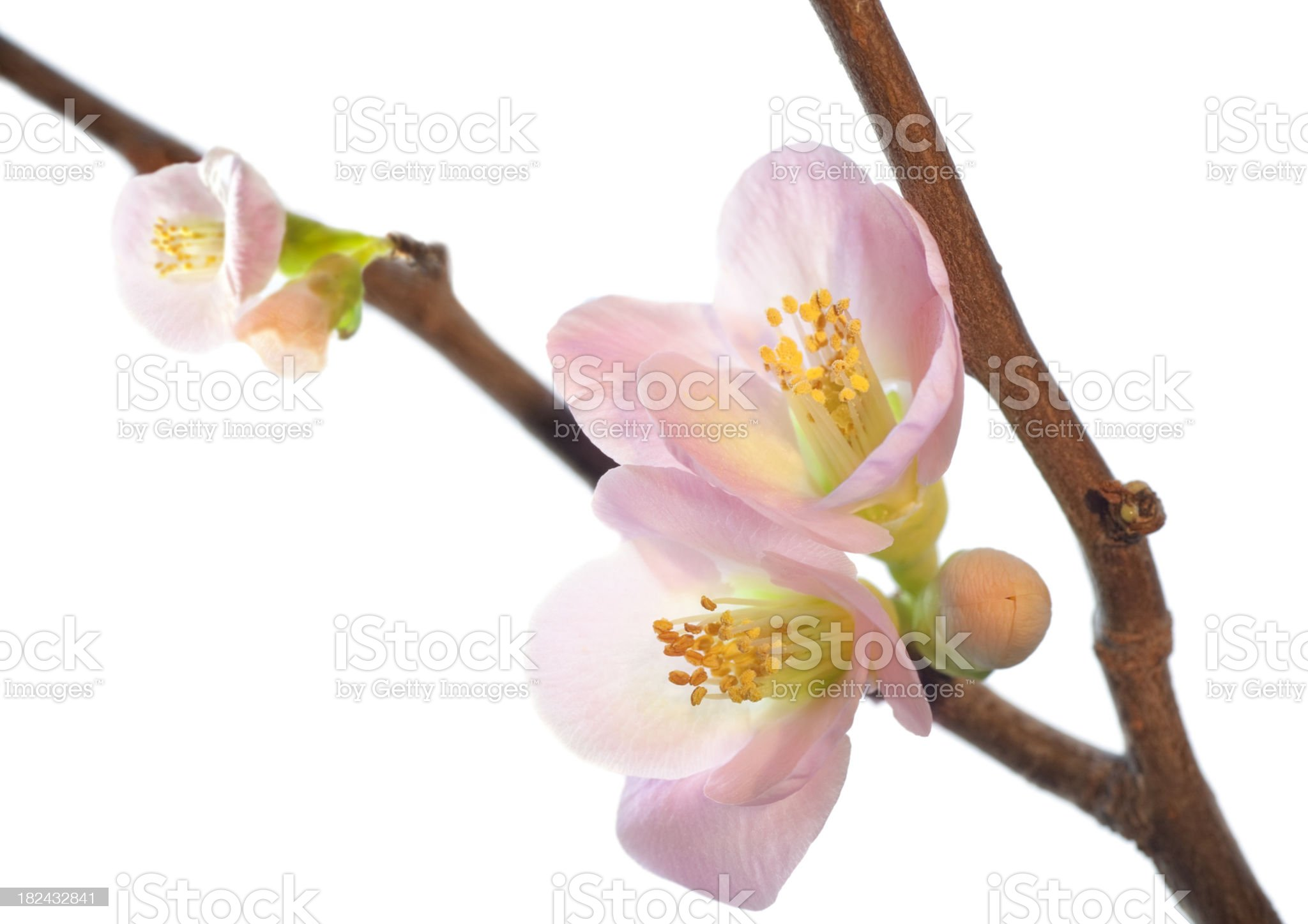 Flowering Quince Branch with Blossoms royalty-free stock photo