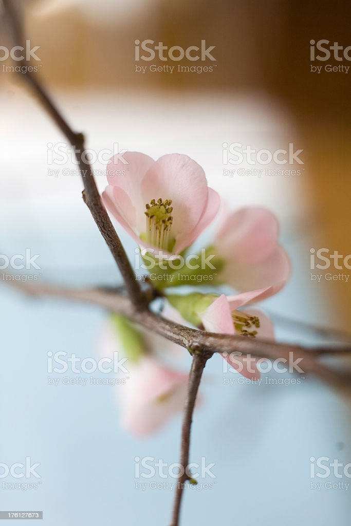 Flowering Quince Branches stock photo