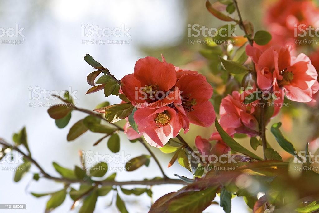 Flowering Quince Chaenomeles royalty-free stock photo