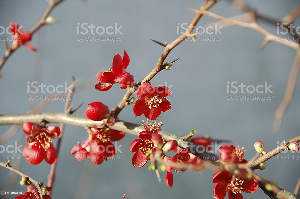 Flowering Quince Chaenomeles stock photo