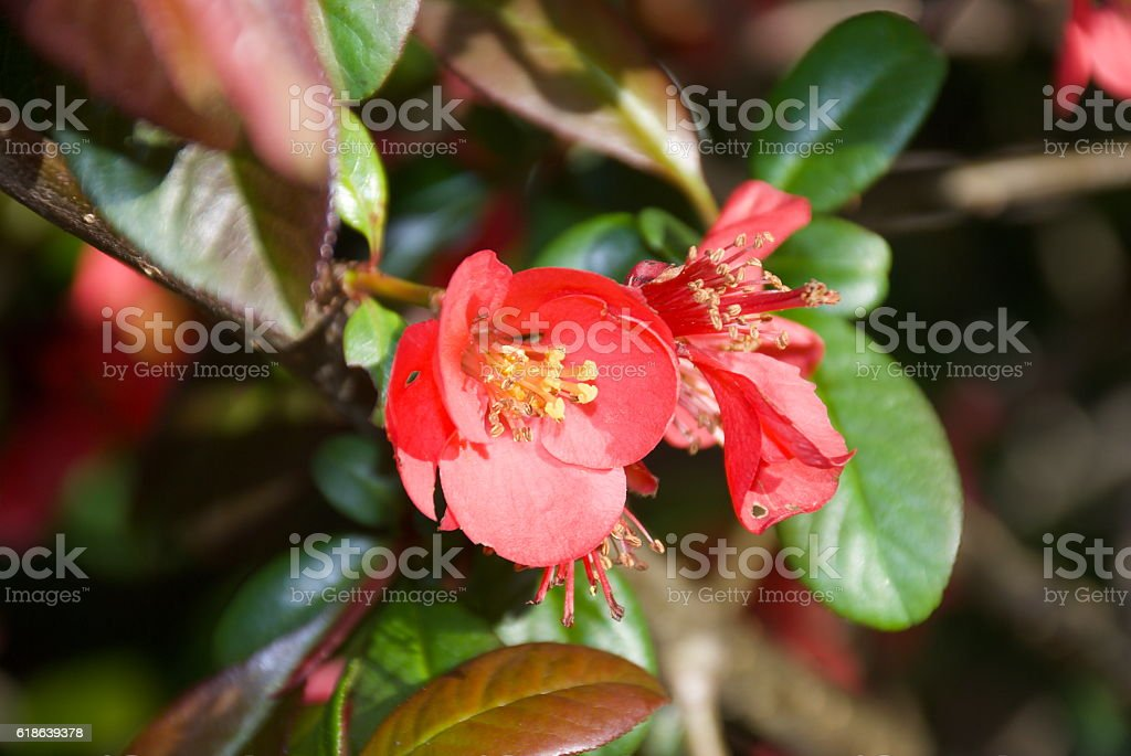 Flowering Quince, Chaenomeles stock photo