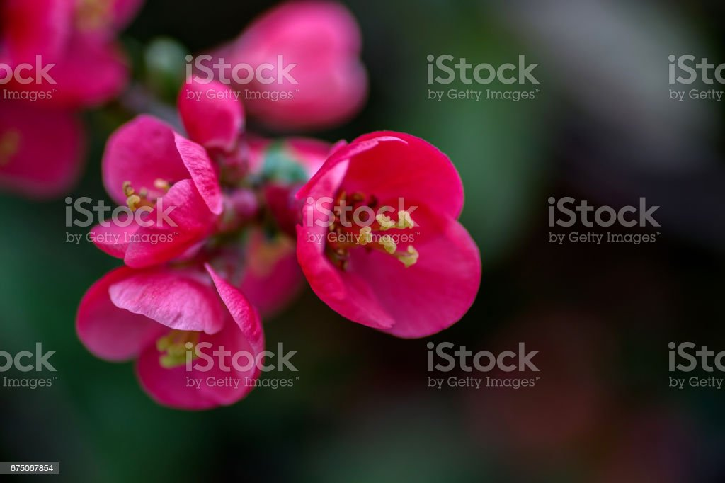 Flowering quince closeup stock photo