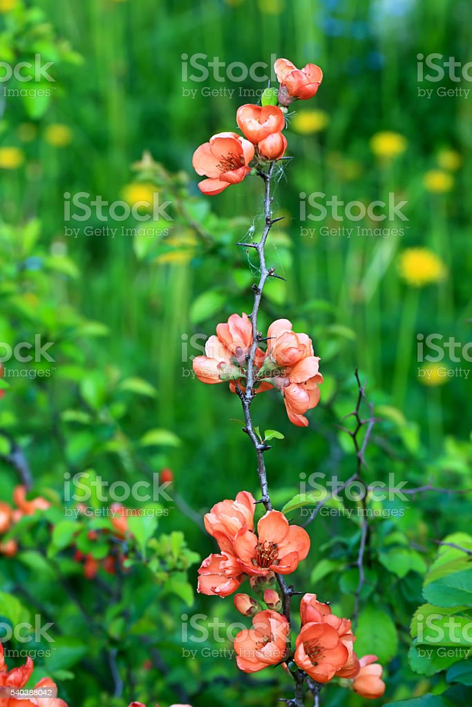flowering quince Japanese garden spring background with soft selective focus stock photo
