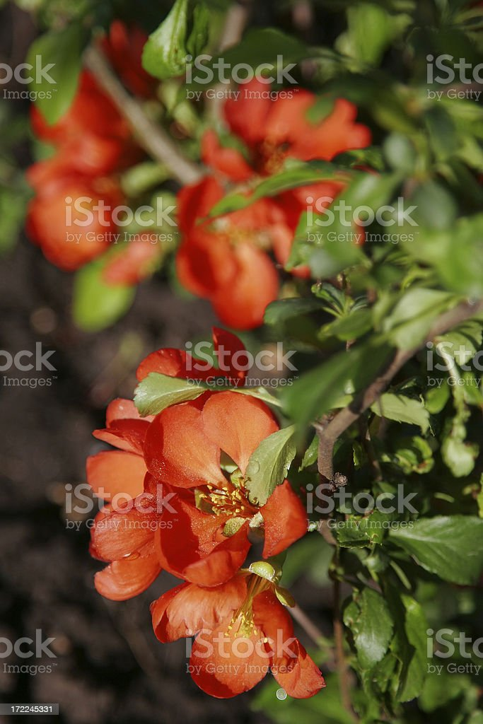 Flowering quince stock photo
