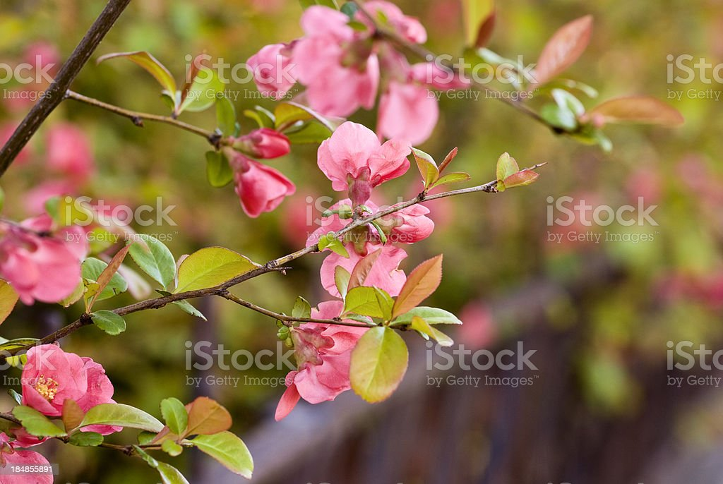 Flowering quince royalty-free stock photo