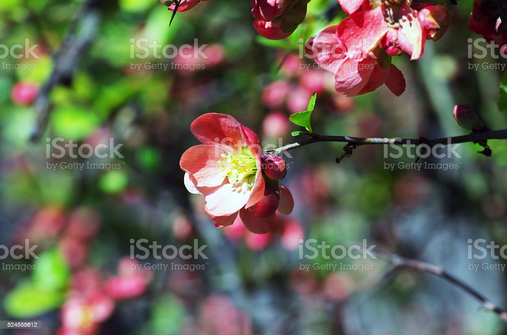 Flowering quince (cydonia oblonga) Red spring flowers (flowering stock photo