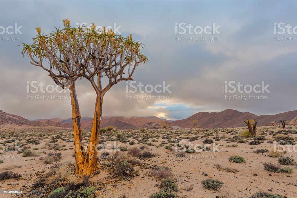 Flowering quiver tree stock photo