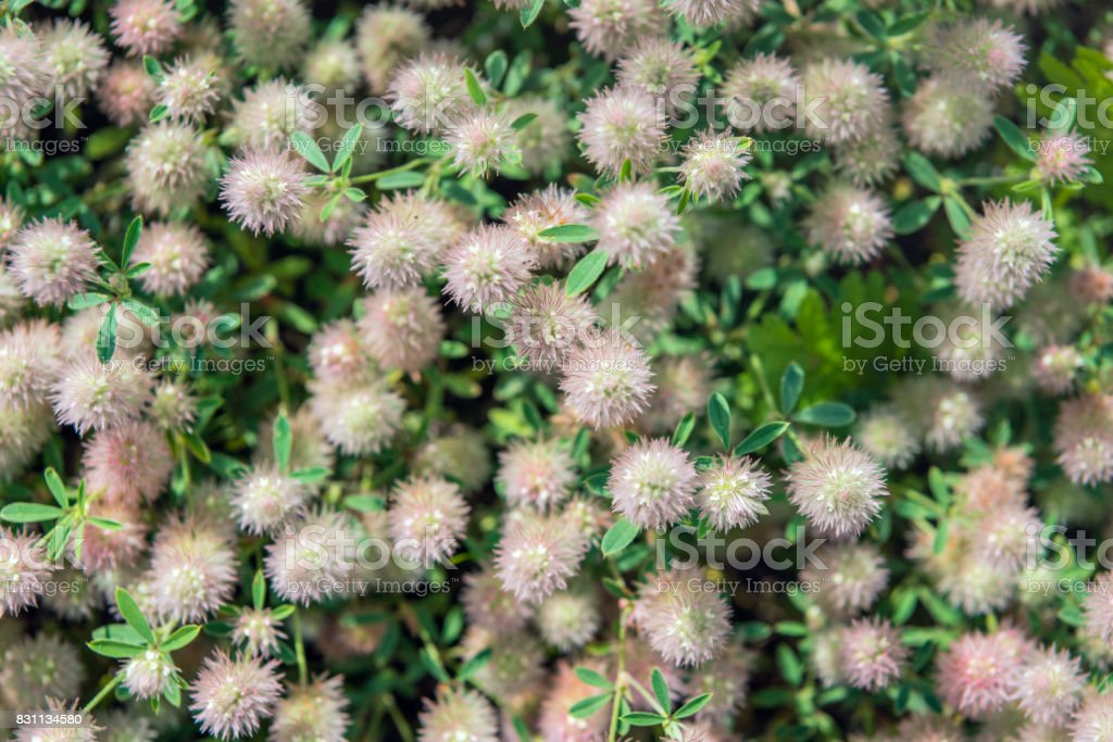 Flowering Rabbitfoot clover as seen from above stock photo