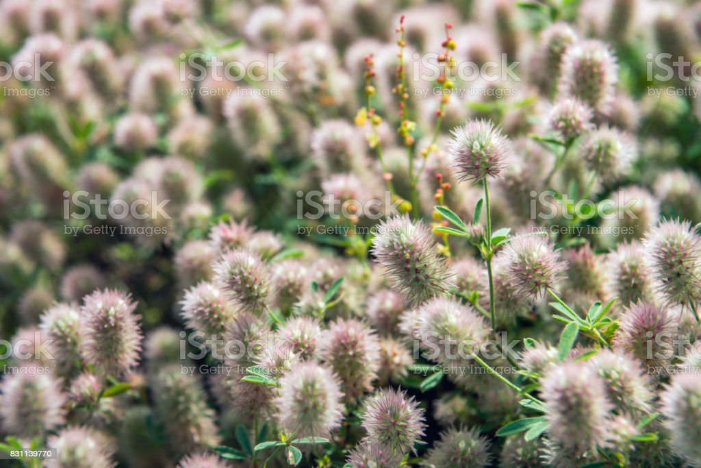Flowering Rabbitfoot clover from close stock photo