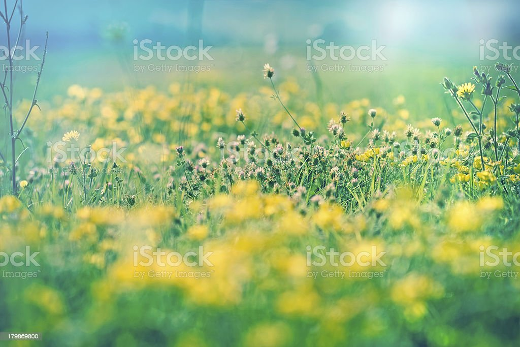 Flowering red clover royalty-free stock photo