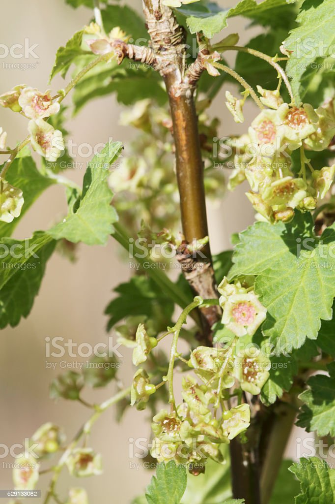 Flowering Redcurrant (Ribes rubrum) stock photo