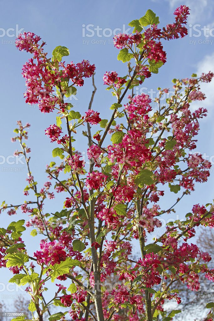Flowering ribes # 2 stock photo