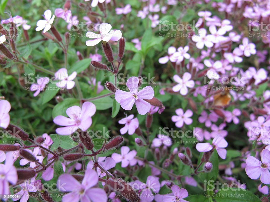 Flowering rock soapwort, Saponaria ocymoides stock photo