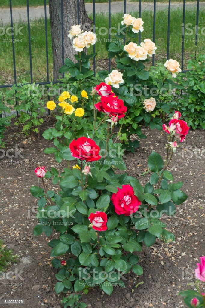 Flowering rose bushes in the garden in summer stock photo
