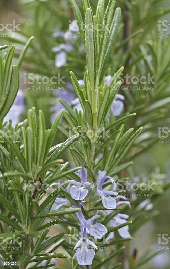 flowering Rosemary royalty-free stock photo