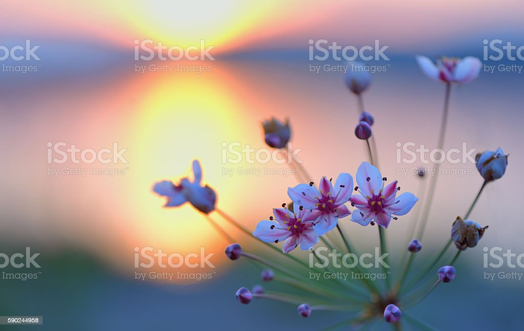 Flowering rush (Butomus umbellatus) stock photo