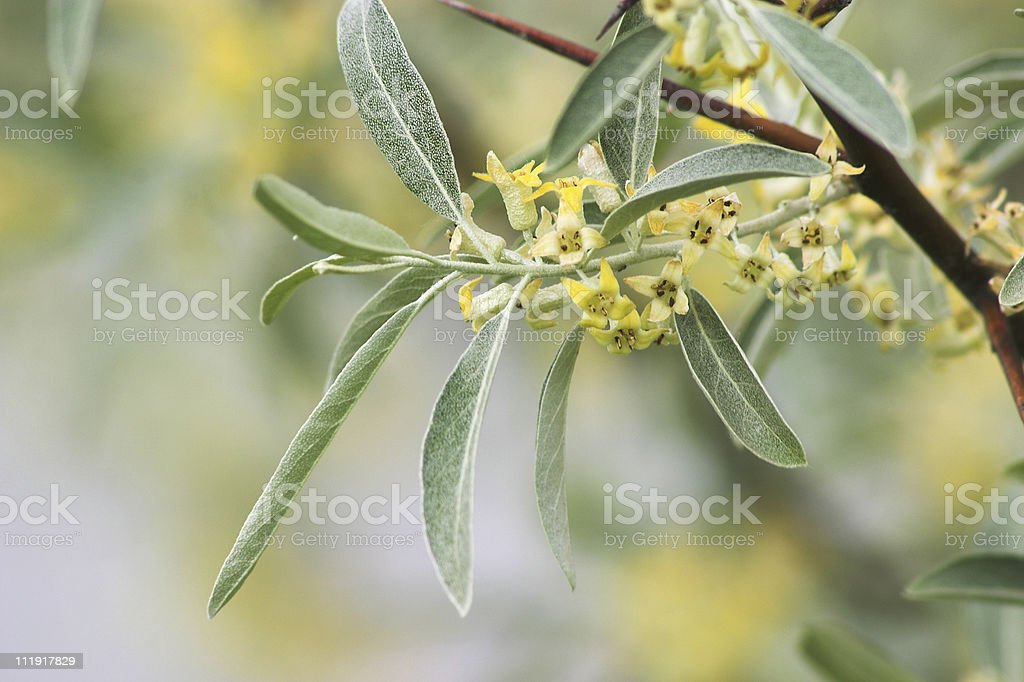 Flowering Russian Olive stock photo
