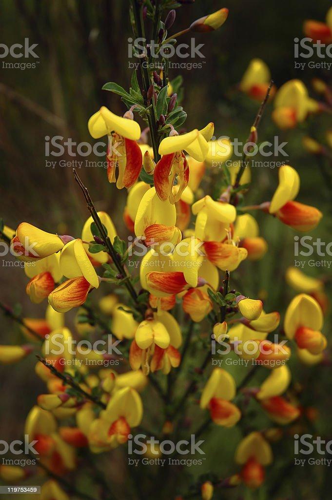Flowering Scotch broom stock photo