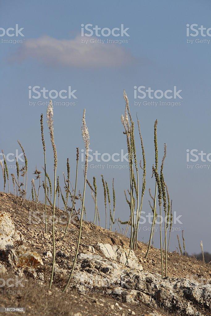 Flowering Sea squill between limestone rocks in Galillee Israel stock photo