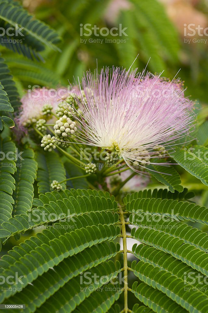 flowering shrub stock photo