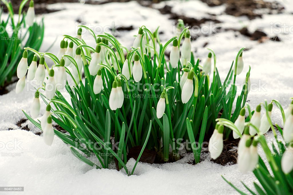 Flowering snowdrops are punched out of the snow. stock photo
