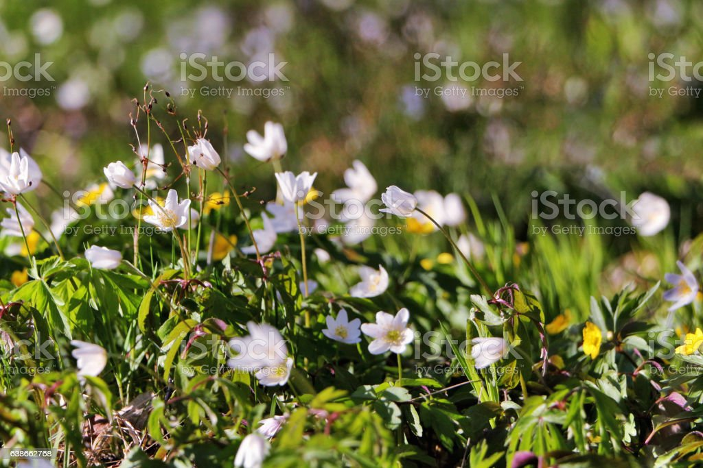 Flowering snowdrops. stock photo