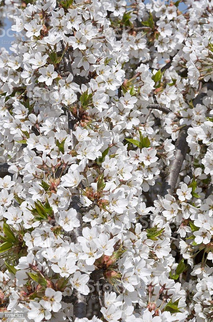 Flowering sour cherry portrait royalty-free stock photo