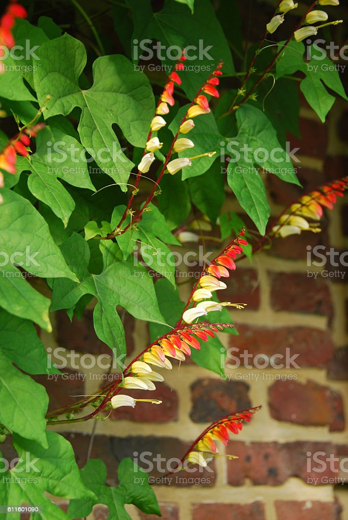 Flowering Spanish flag infront of a Brick wall stock photo