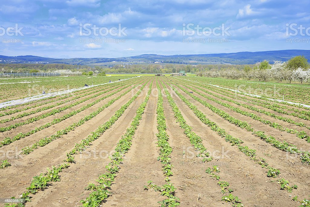 Flowering strawberry field early spring royalty-free stock photo
