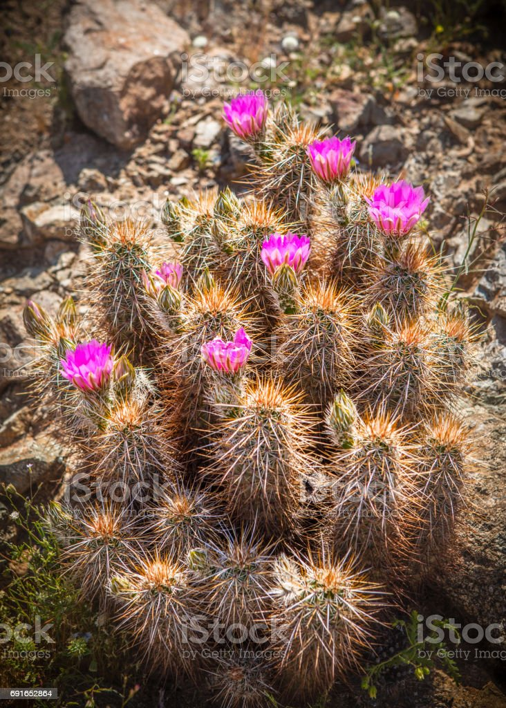Flowering Strawberry Hedgehog Cactus, Anza-Borrego Desert State Park stock photo