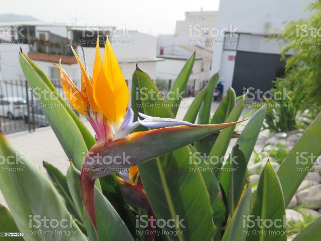 Flowering Strelizia plant stock photo