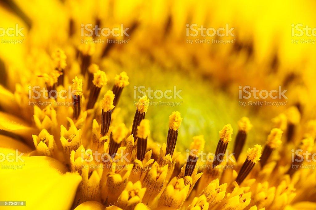 Flowering sunflower closeup stock photo