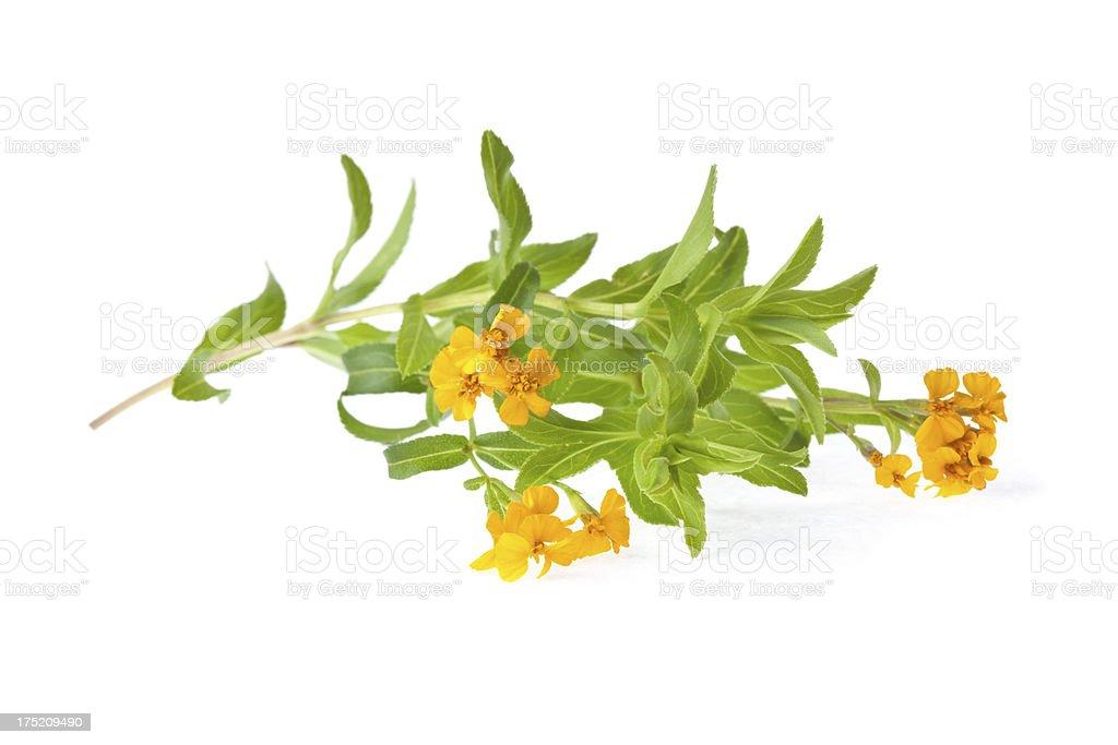 Flowering tarragon royalty-free stock photo