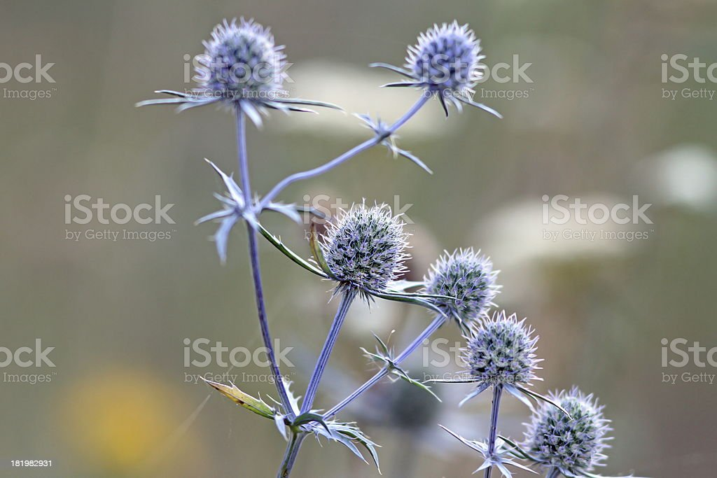 flowering thistles stock photo