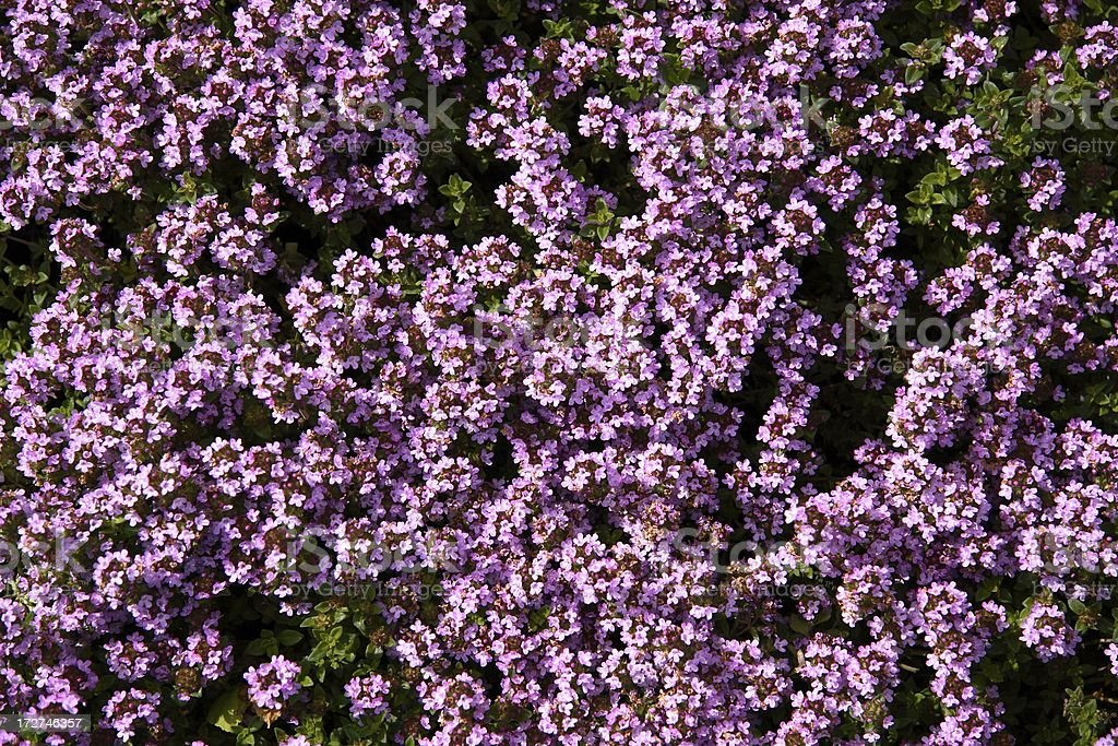 Flowering Thyme royalty-free stock photo