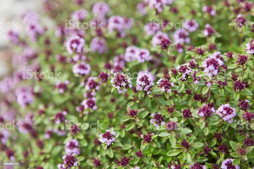 Flowering thyme stock photo
