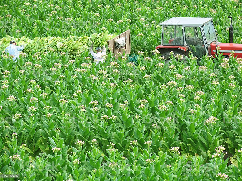 flowering tobacco field royalty-free stock photo