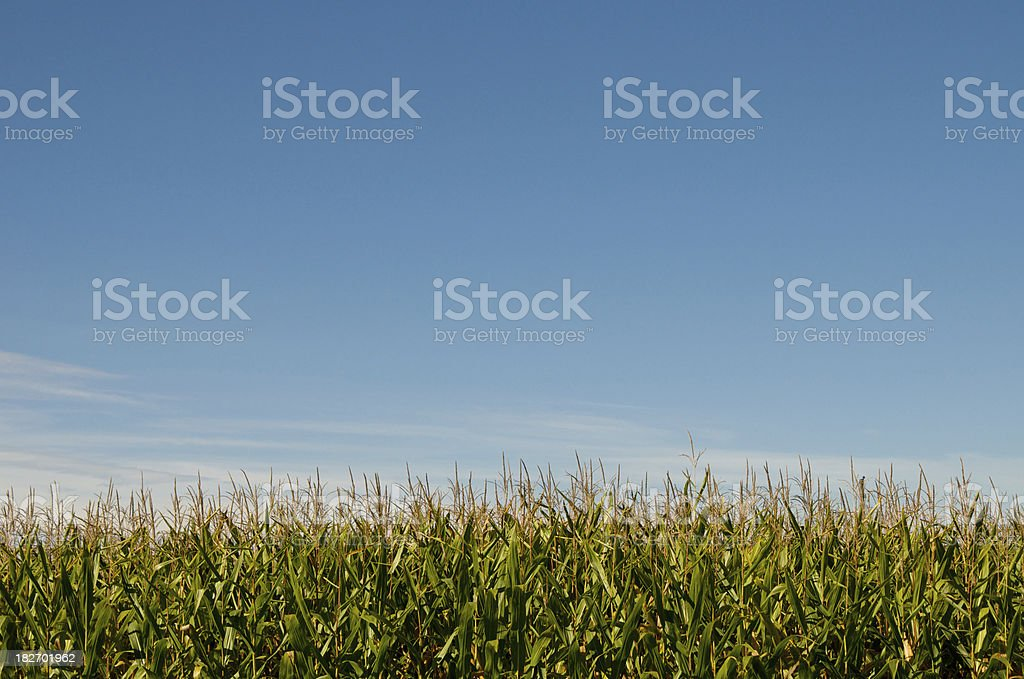 Flowering Tops of Corn Stalks royalty-free stock photo