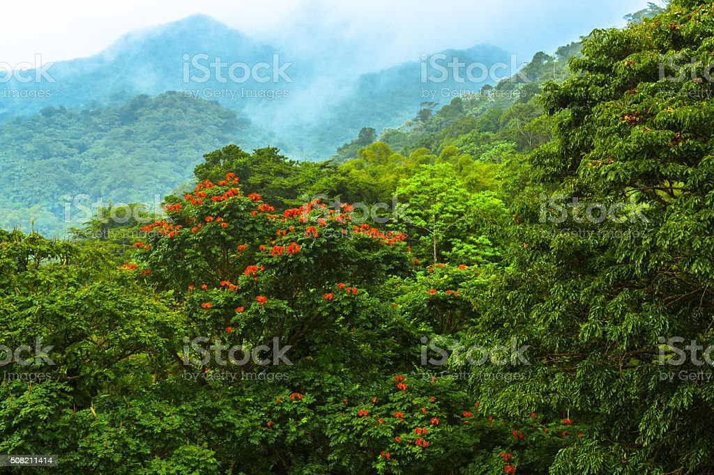 Flowering Tree in Rainforest stock photo