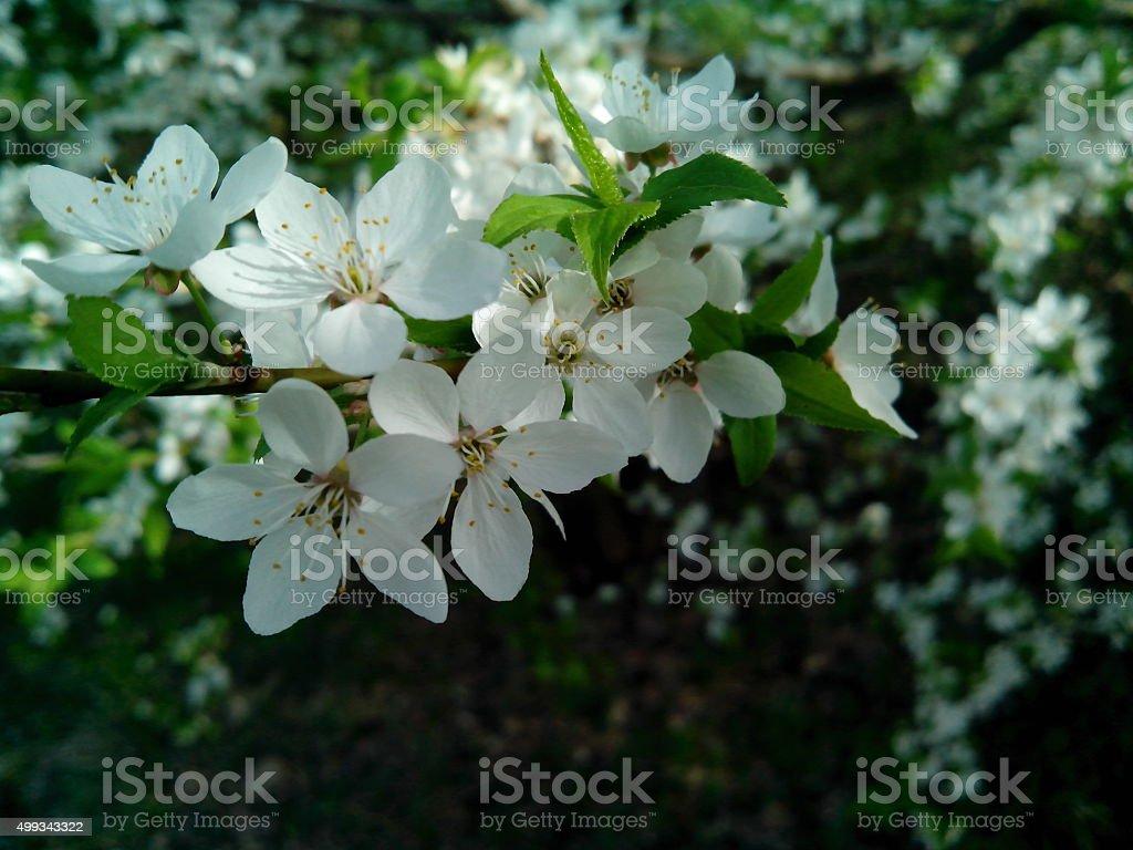 flowering tree stock photo