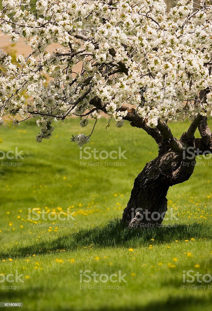 flowering tree royalty-free stock photo