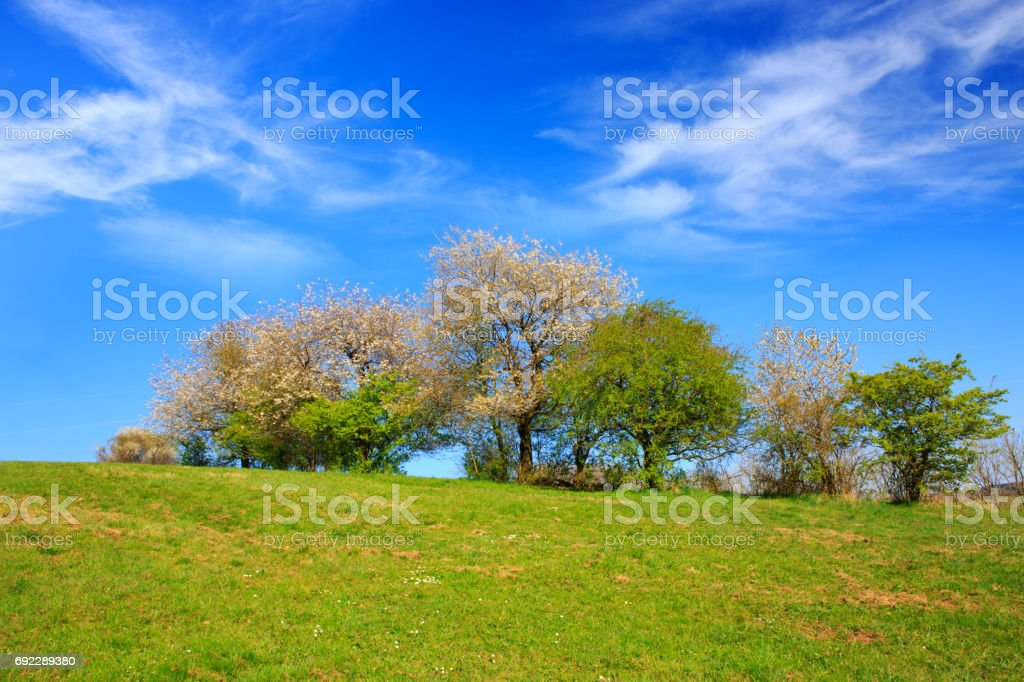 Flowering trees on meadow and blue sky stock photo