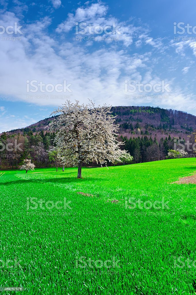 Flowering Trees stock photo