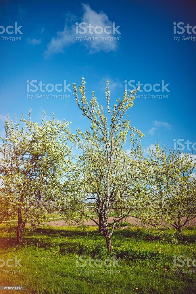 Flowering trees stock photo