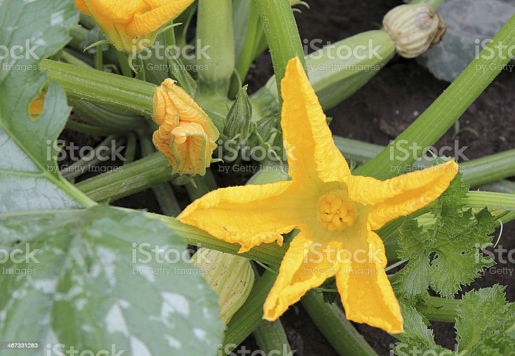 Flowering vegetable marrow plant with young fruit royalty-free stock photo