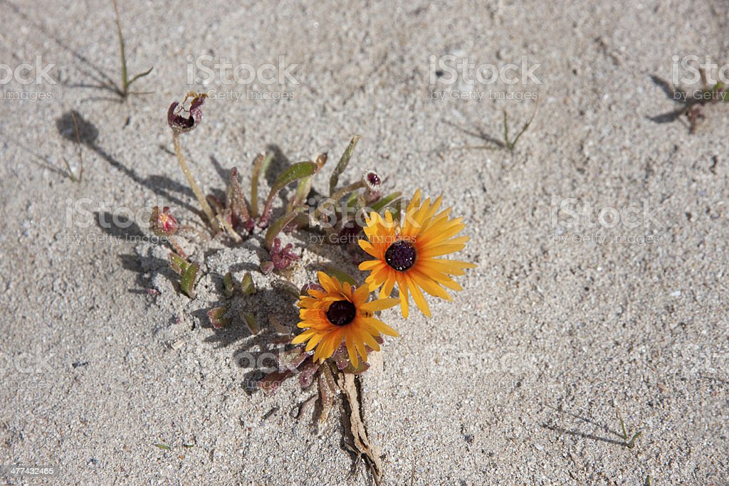 Flowering vygie plant in Namaqualand Western Cape stock photo