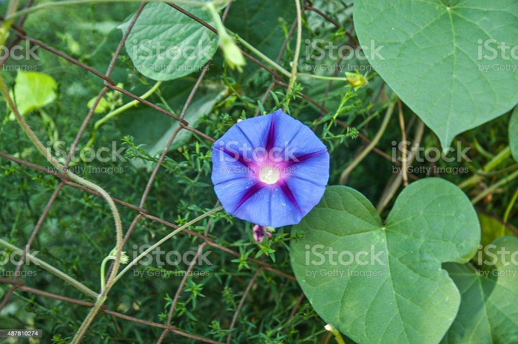 flowering wall bellflower Campanula stock photo