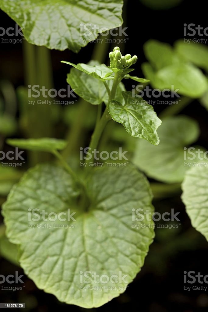 Flowering wasabi plant stock photo
