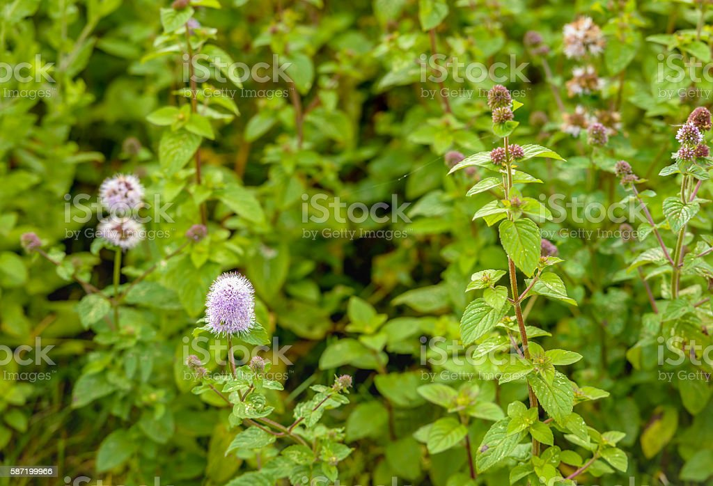 Flowering water mint from close stock photo