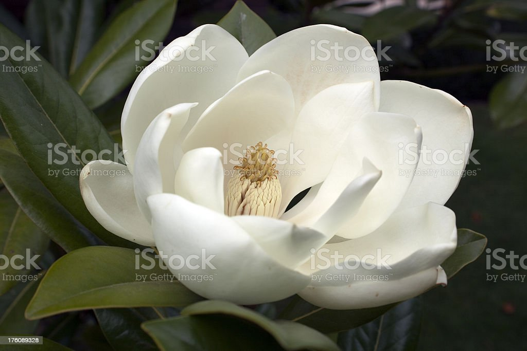 Flowering White Magnolia stock photo